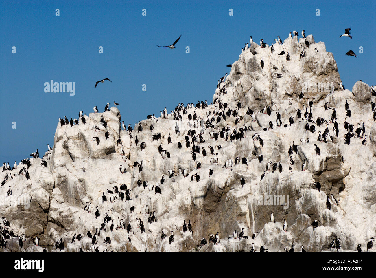 Cormorant Colony at Cabo Blanco, Patagonia, Santa Cruz, Argentina - Stock Image