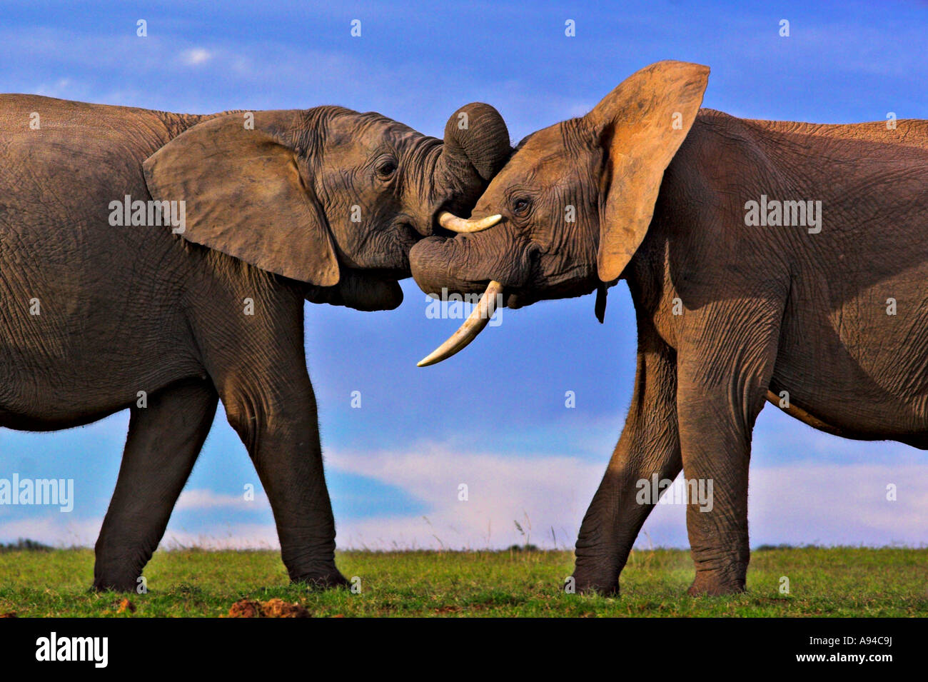 elephant pair stock photos elephant pair stock images alamy. Black Bedroom Furniture Sets. Home Design Ideas