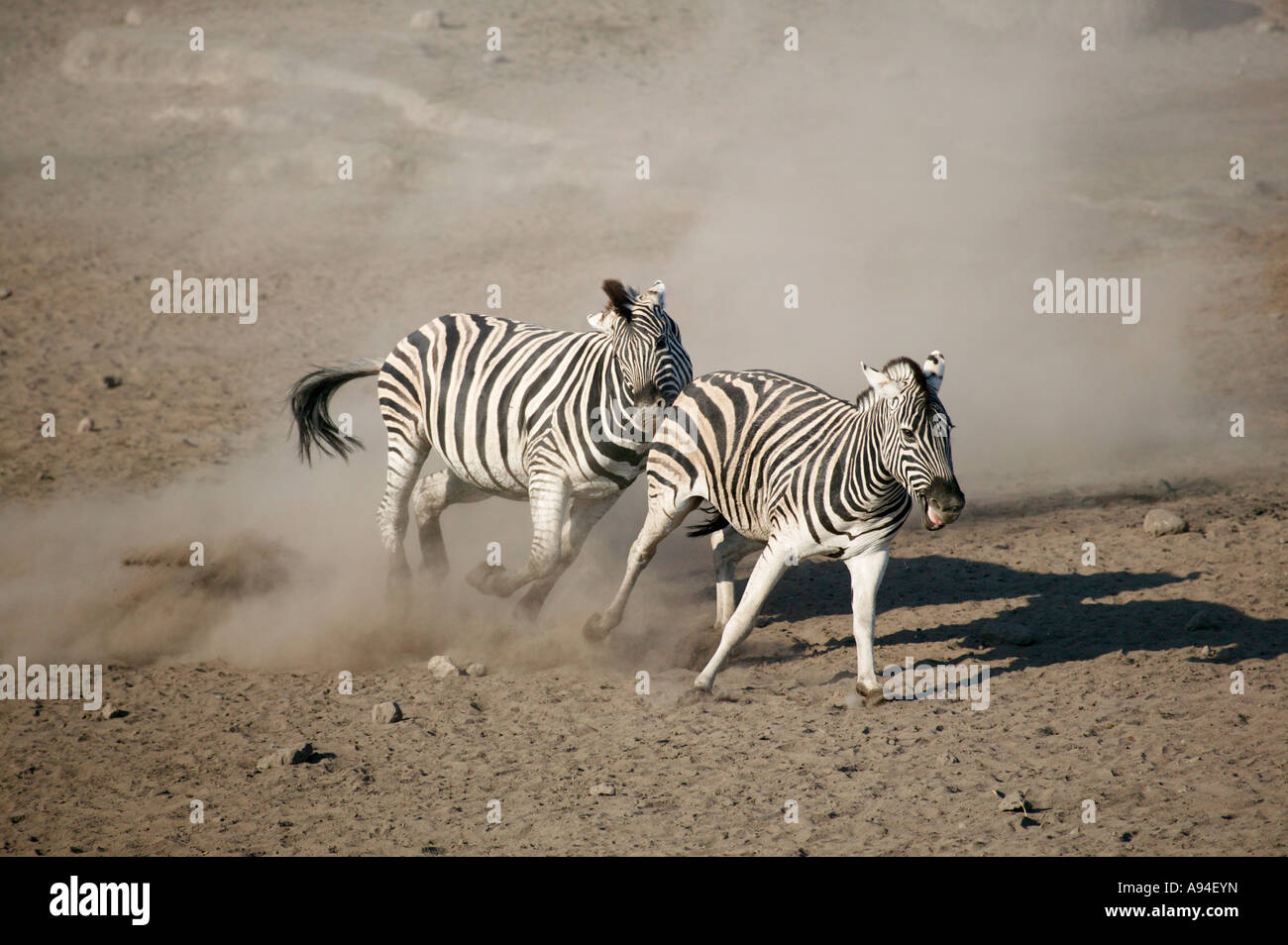 A Zebra kicking up dust as it chases a rival through a sandy area Etosha Namibia - Stock Image