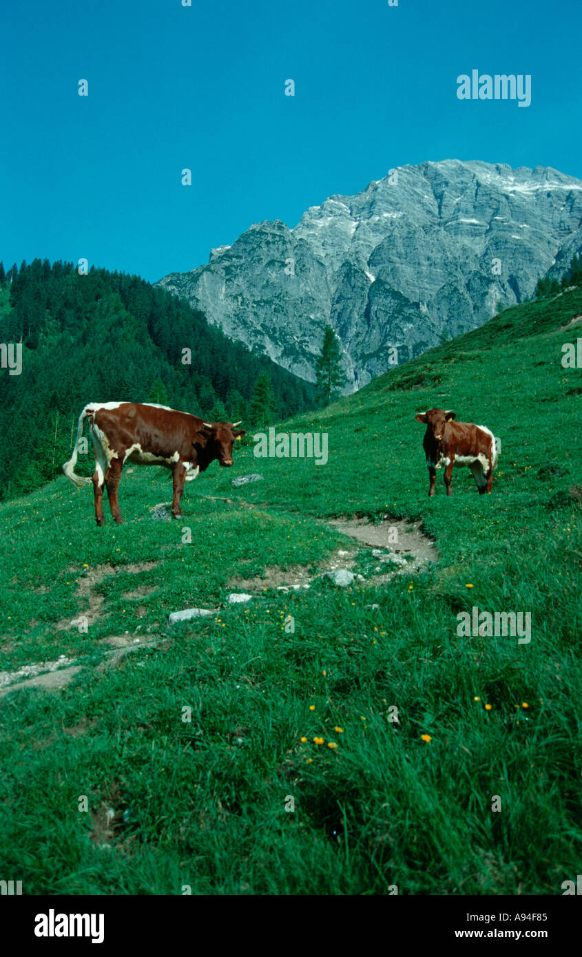 cows on a alpine pasture Bos taurus, Austria Stock Photo