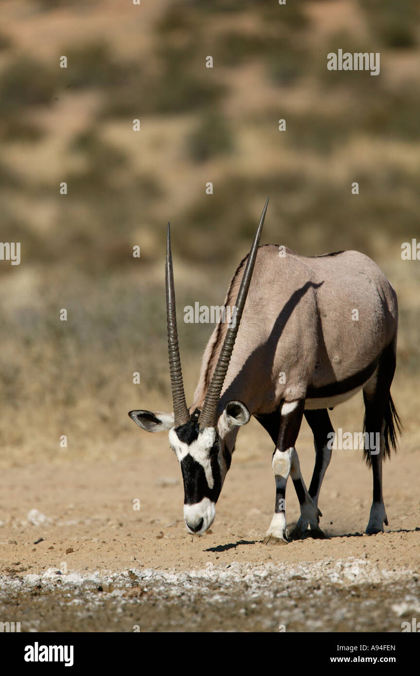 Gemsbok oryx with head lowered Kgalagadi Transfrontier Park Northern Cape South Africa - Stock Image