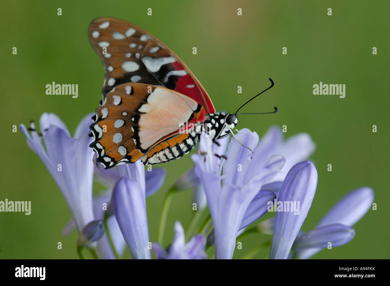 Angola white lady swordtail butterfly Graphium angolanus on flower Nelspruit Mpumalanga South Africa - Stock Image