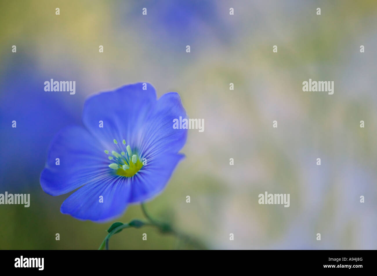 Flax flower, springtime , Nevada - Stock Image