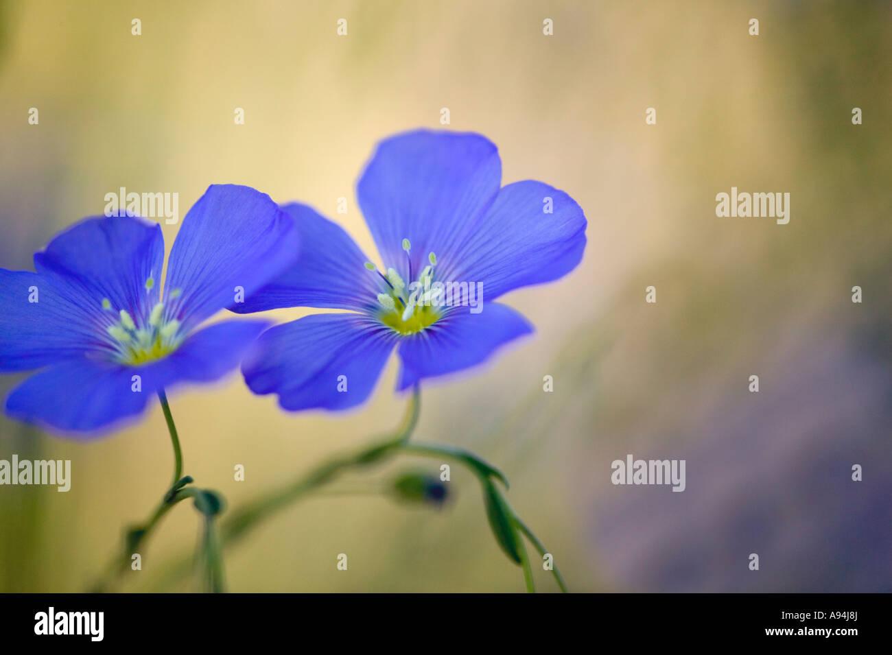 Flax flowers, springtime, Nevada - Stock Image
