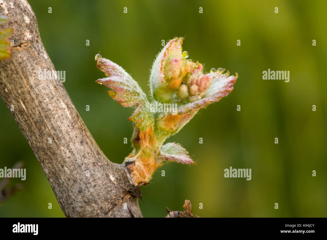 Emerging shoot of the grape vine 'Rakus' , California Stock Photo