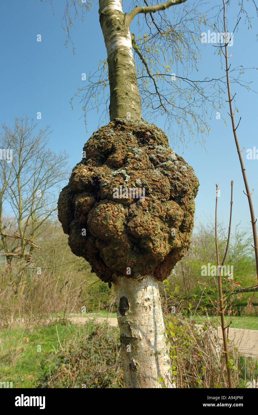 A burr (or burl) on the trunk of a silver birch tree. - Stock Image