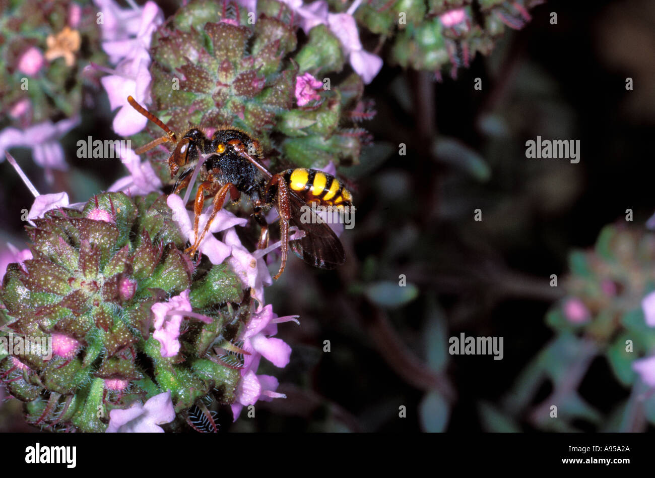Hymenopteran on Thyme flower - Stock Image