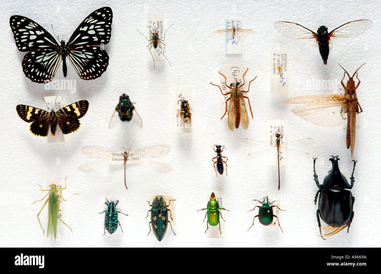 Pinned insect collection, miscellaneous insectsdead b - Stock Image
