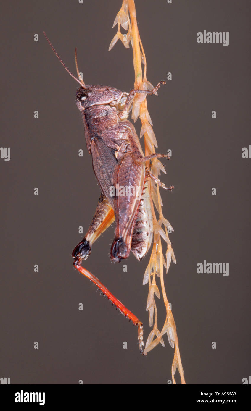 Australian Wingless grasshopper Stock Photo