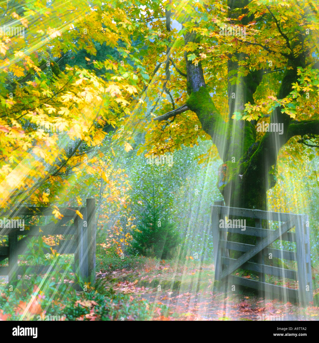 sunlight rays of shining brightly through tree branches in Autumn - Stock Image