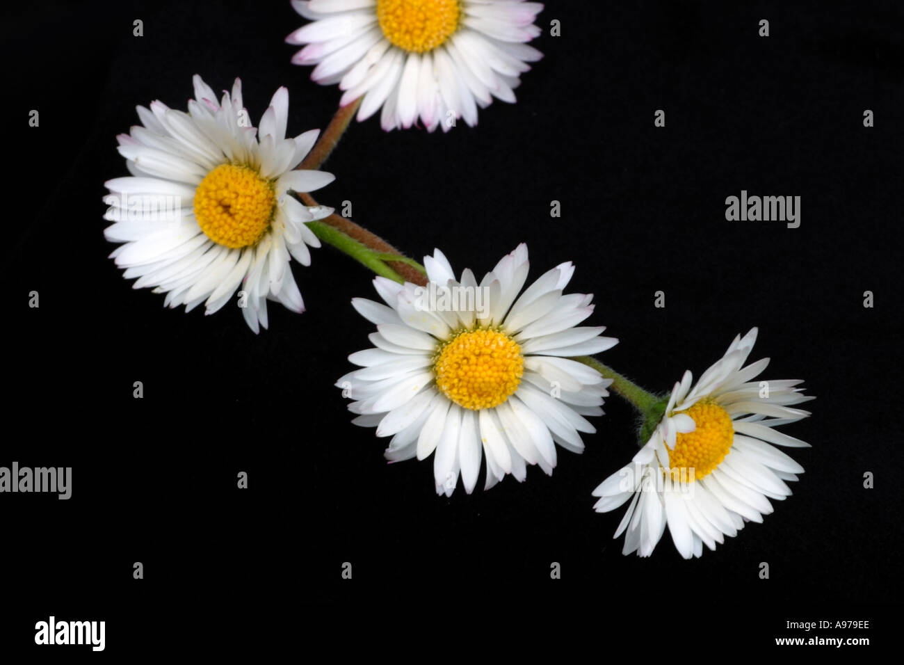 Daisy flowers in a single daisy chain, to make into a bracelet, necklace or floral crown - Stock Image