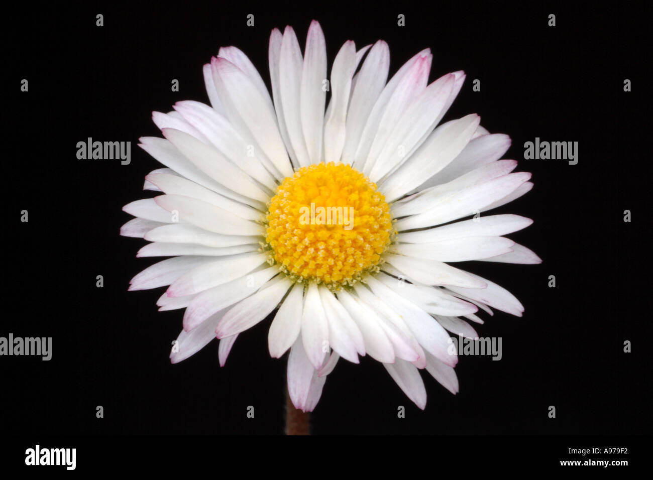 Close up of open, single daisy flower on black background. Pink tipped, white petals. - Stock Image