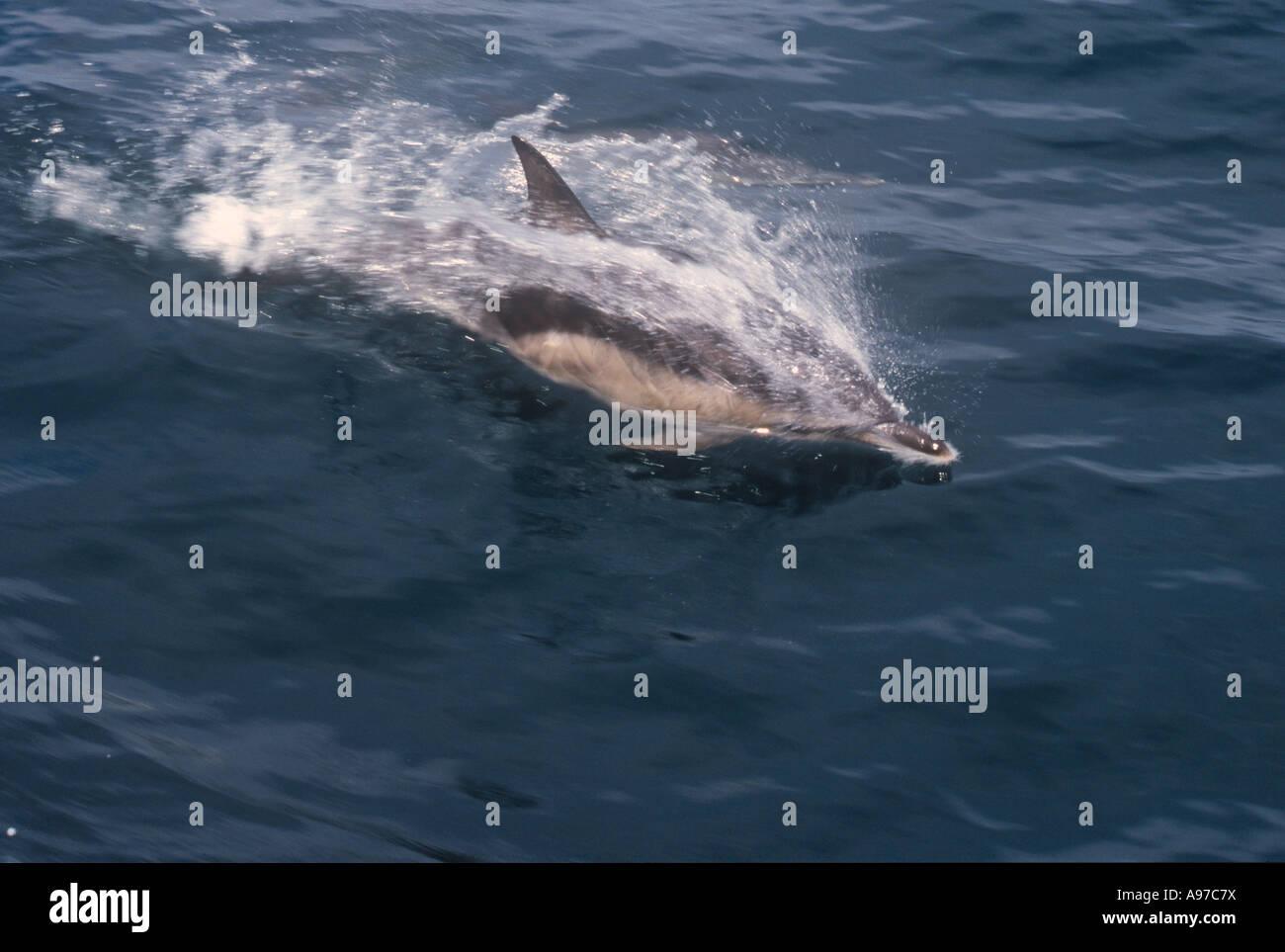 Bottle Nosed Dolphin Marine - Stock Image