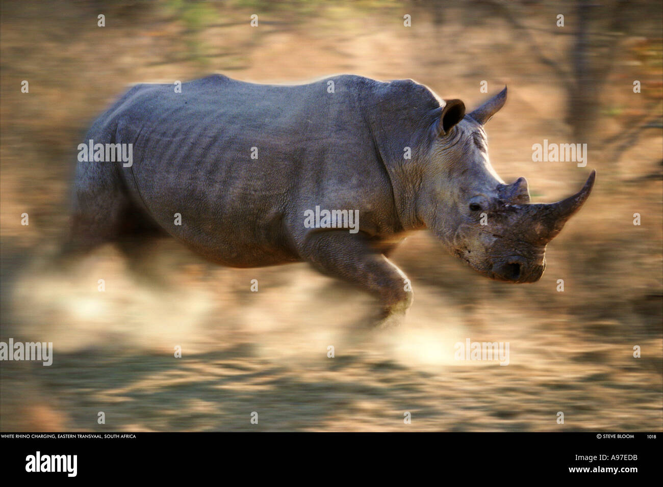 Charging white rhino Kapama Game Reserve South Africa - Stock Image