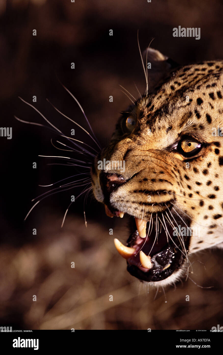 Leopard snarling Namibia - Stock Image