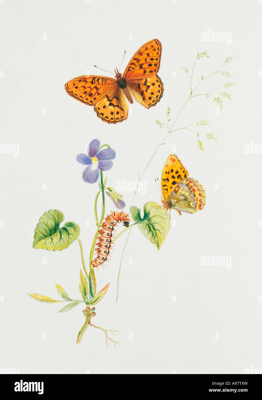 Argynnis adippe high brown fritillary - Stock Image