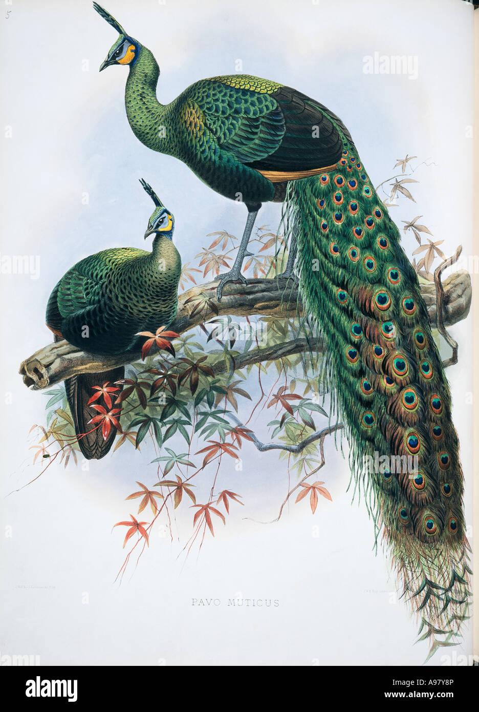 Pavo muticus green peafowl - Stock Image