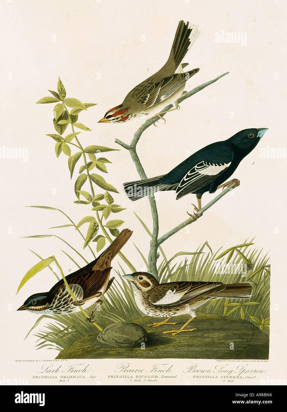 Calamospiza melanocorys Chondestes grammacus Melospiza melodia - Stock Image