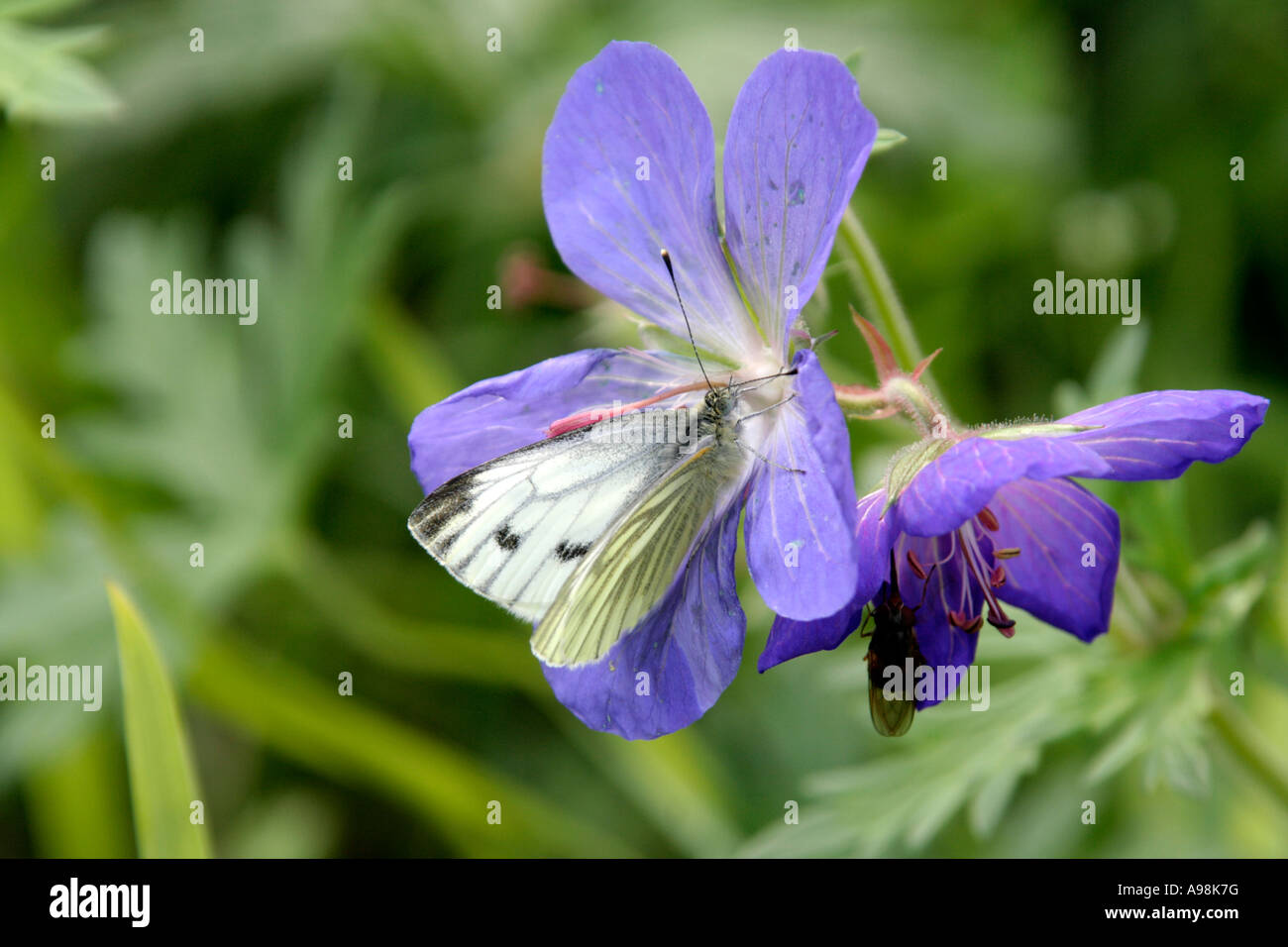 Geranium Johnsons Blue with green veined white butterfly Pieris napi - Stock Image