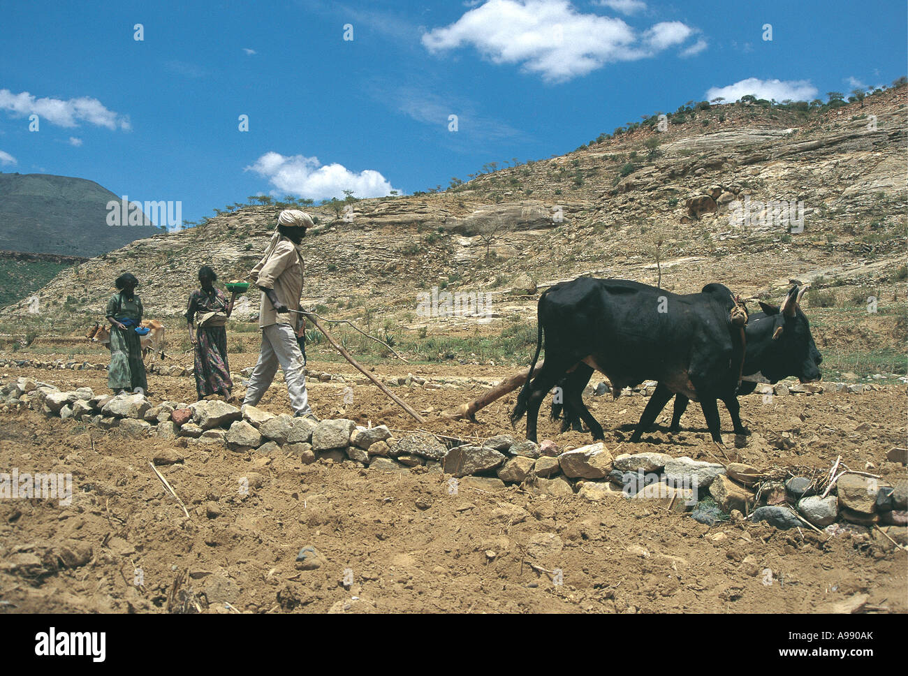 Ploughing using oxen and planting seeds Tigrai Ethiopia - Stock Image