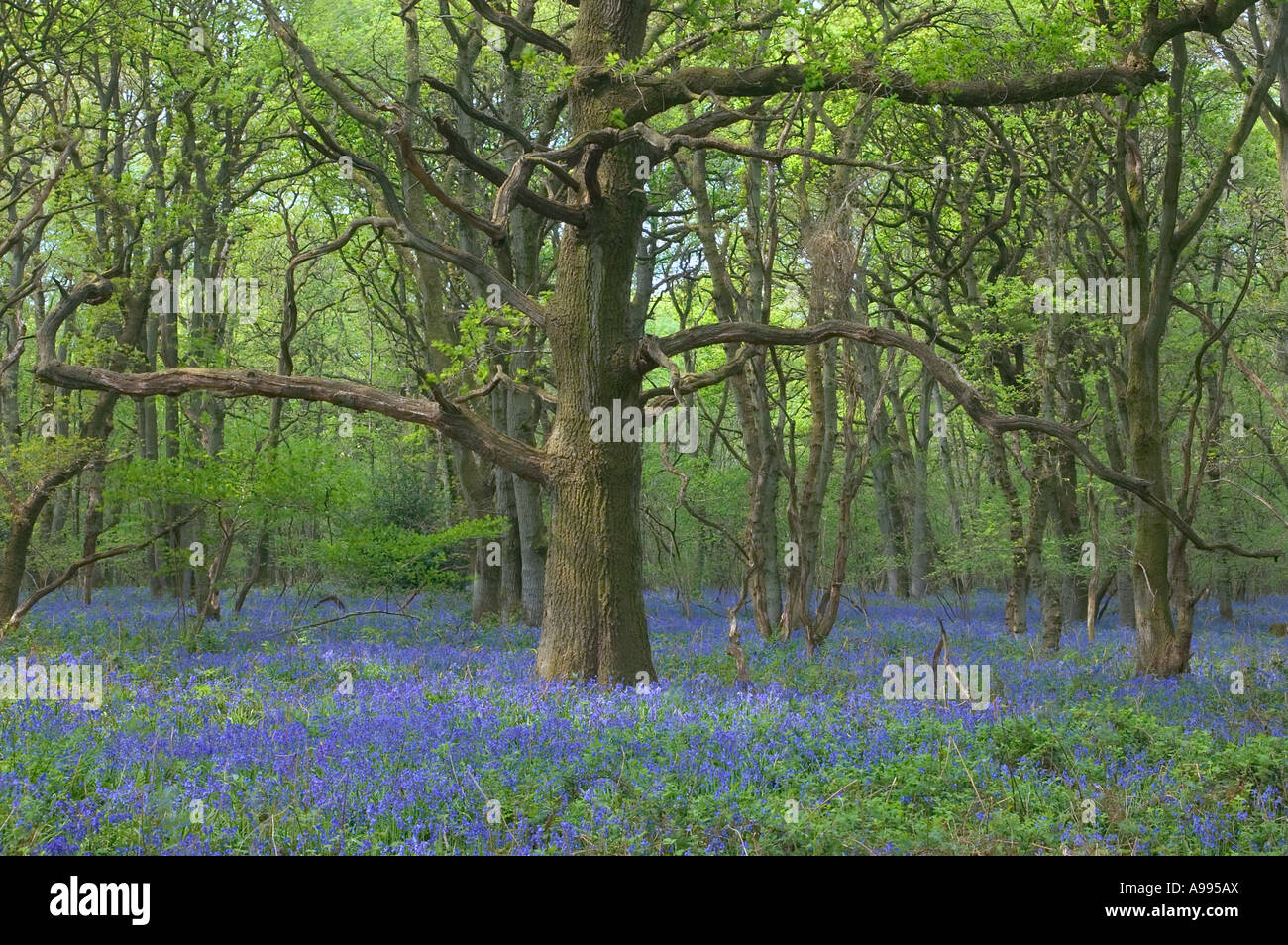 An old Oak tree in an English bluebell wood - Stock Image