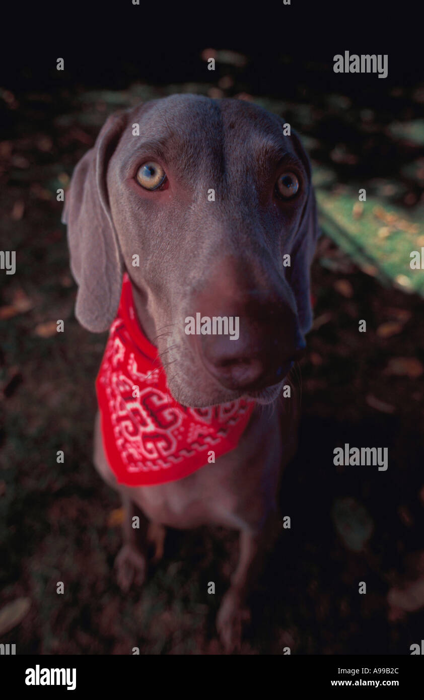 Close up of an adult Weimaraner dog wearing a red bandana around its neck - Stock Image
