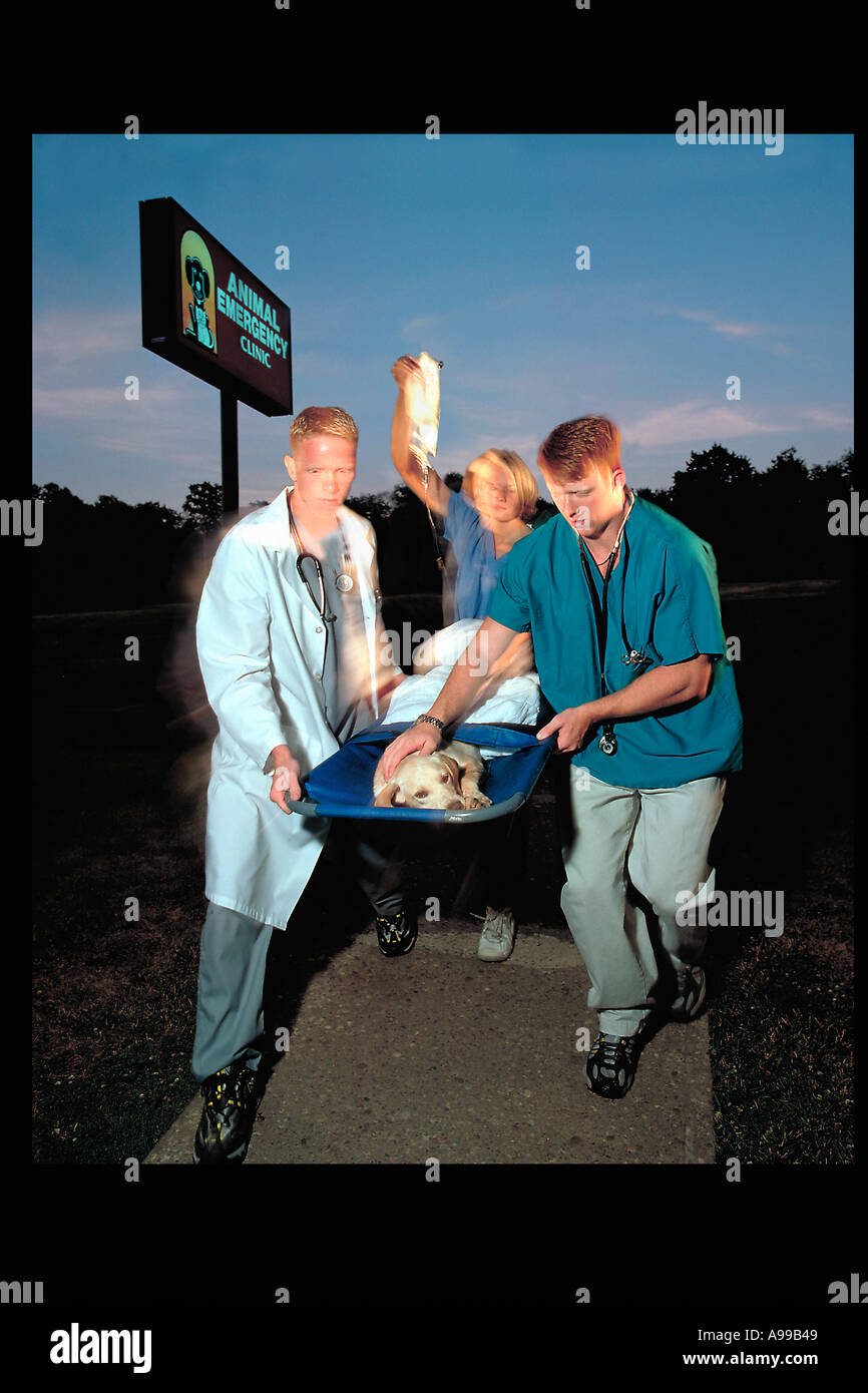 Two veterinarians and a technician carrying an injured Yellow Labrador dog into an emergency animal clinic on a stretcher - Stock Image