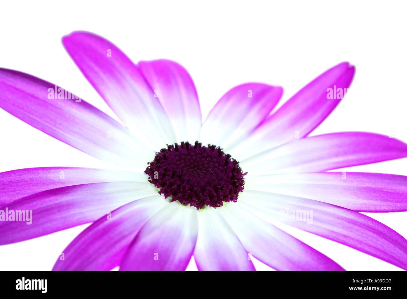 Senetti Magenta Bi Color isolated on white - Stock Image