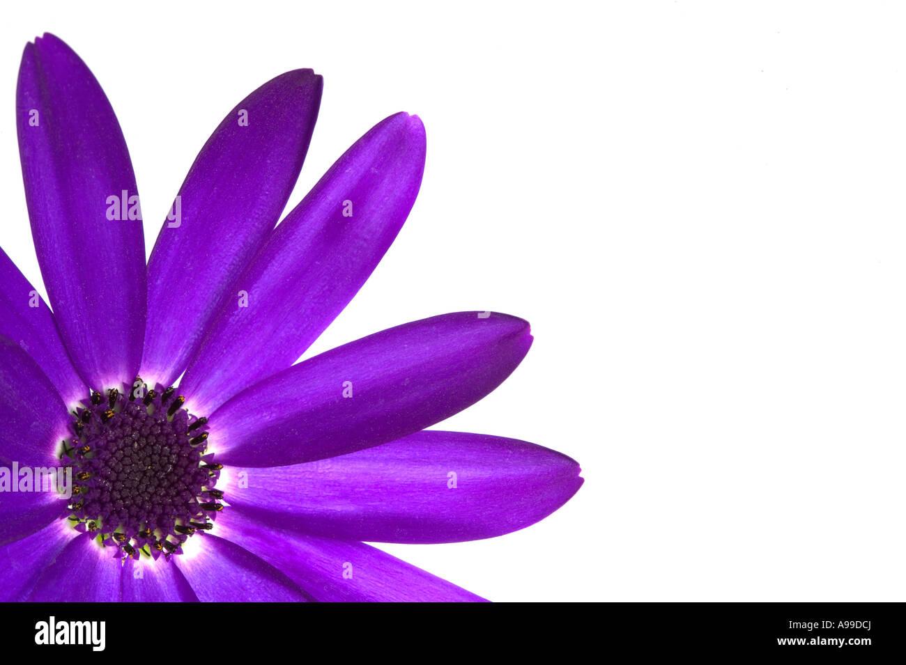 Senetti Deep Blue flower isolated on white and framed in the left corner - Stock Image