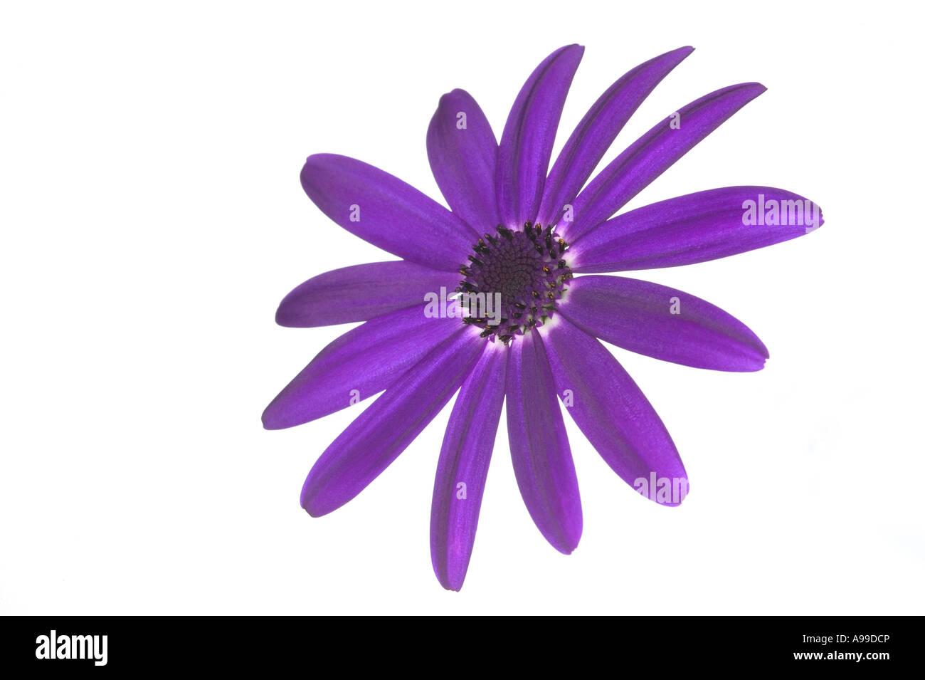 Flower Senetti Deep Blue isolated on white - Stock Image