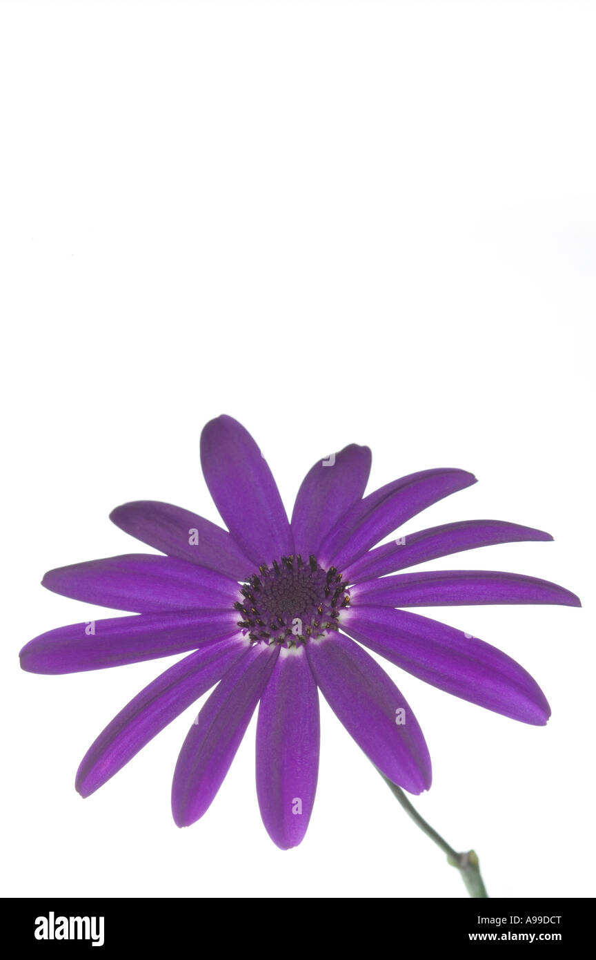 Flower Senetti Deep Blue isolated on white and posistioned lower frame - Stock Image