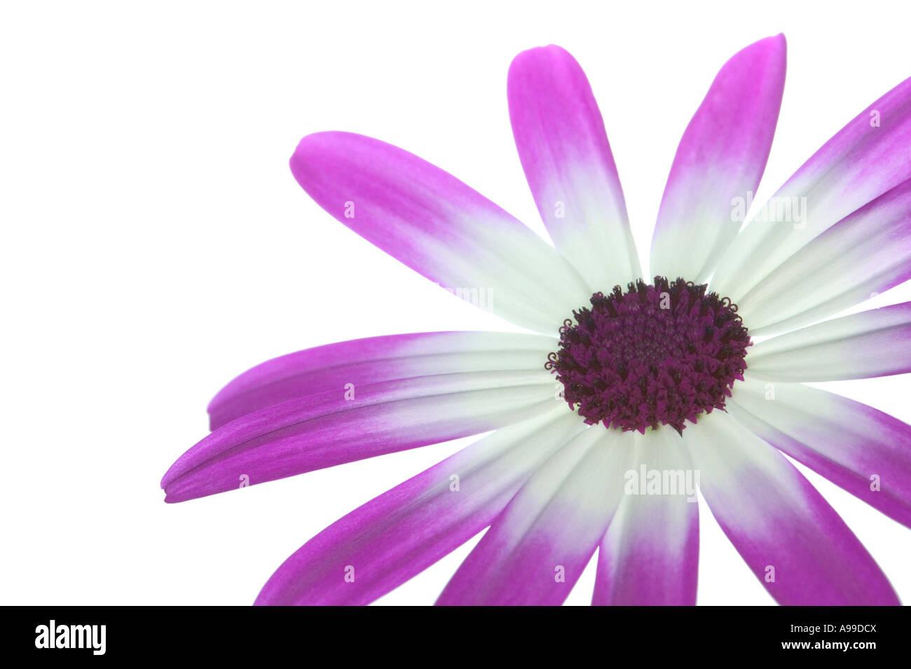 Flower Senetti Magenta Bi Color isolated on white lower right of frame - Stock Image