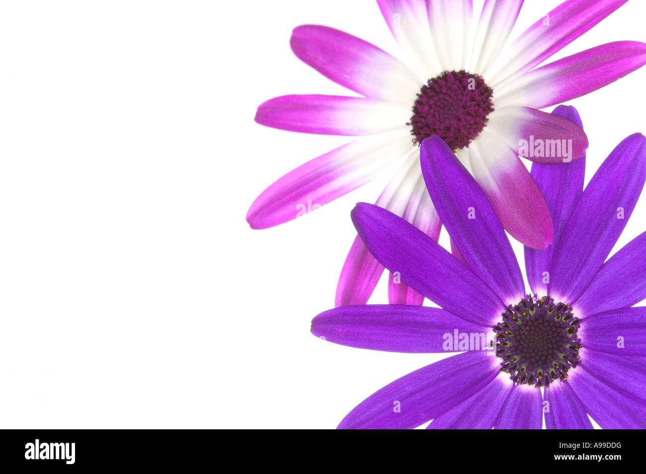 Two Senetti flowers isolated on white and framed on the right - Stock Image