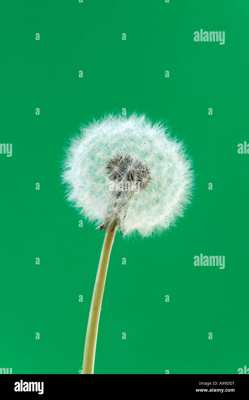 Dandelion head Macro against a green background - Stock Image