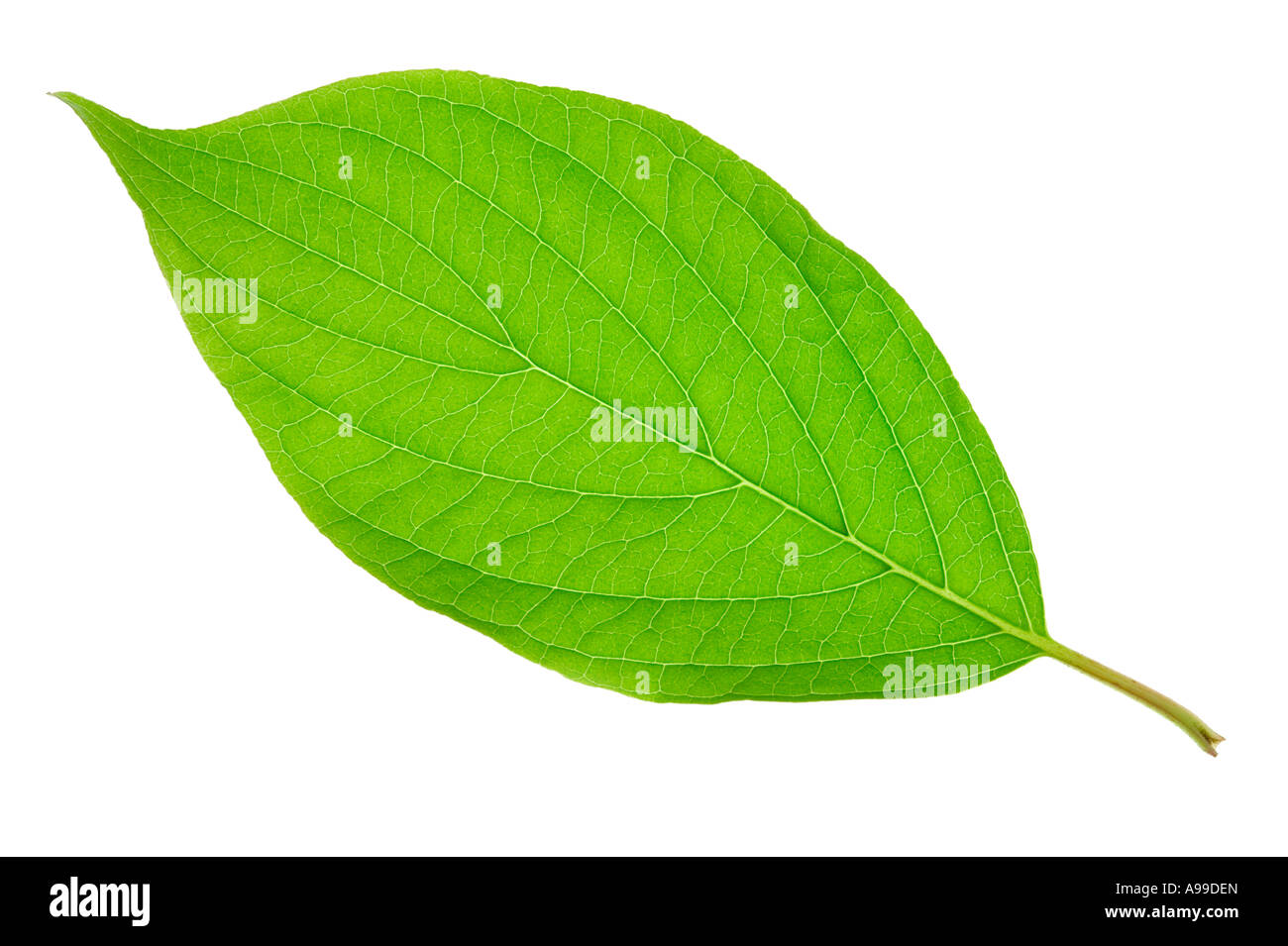 Detailed macro shot of a green leaf isolated on white - Stock Image