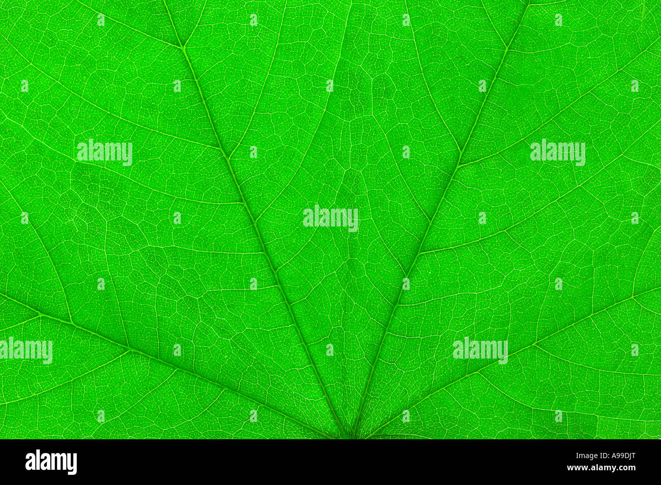 Detailed Macro shot of a Green leaf Stock Photo
