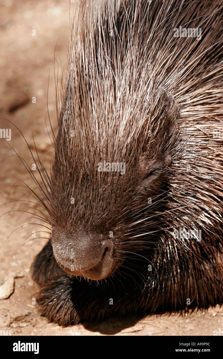 Portrait of a porcupine - Stock Image