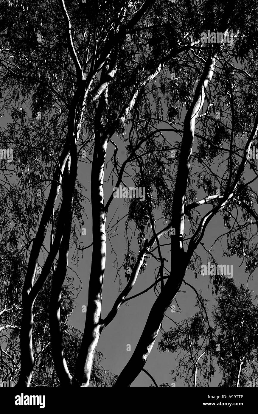 details of a Eucalyptus tree in black and white - Stock Image