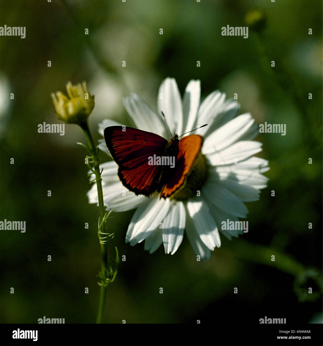 Close up of an orange butterfly on a white marguerite bloom Stock Photo