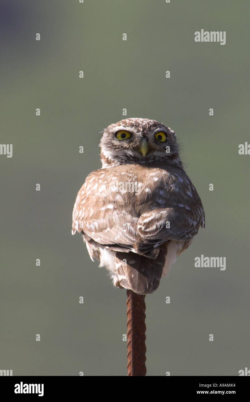 Little Owl, Athene noctua, on pole on Greek Island of Lesbos - Stock Image