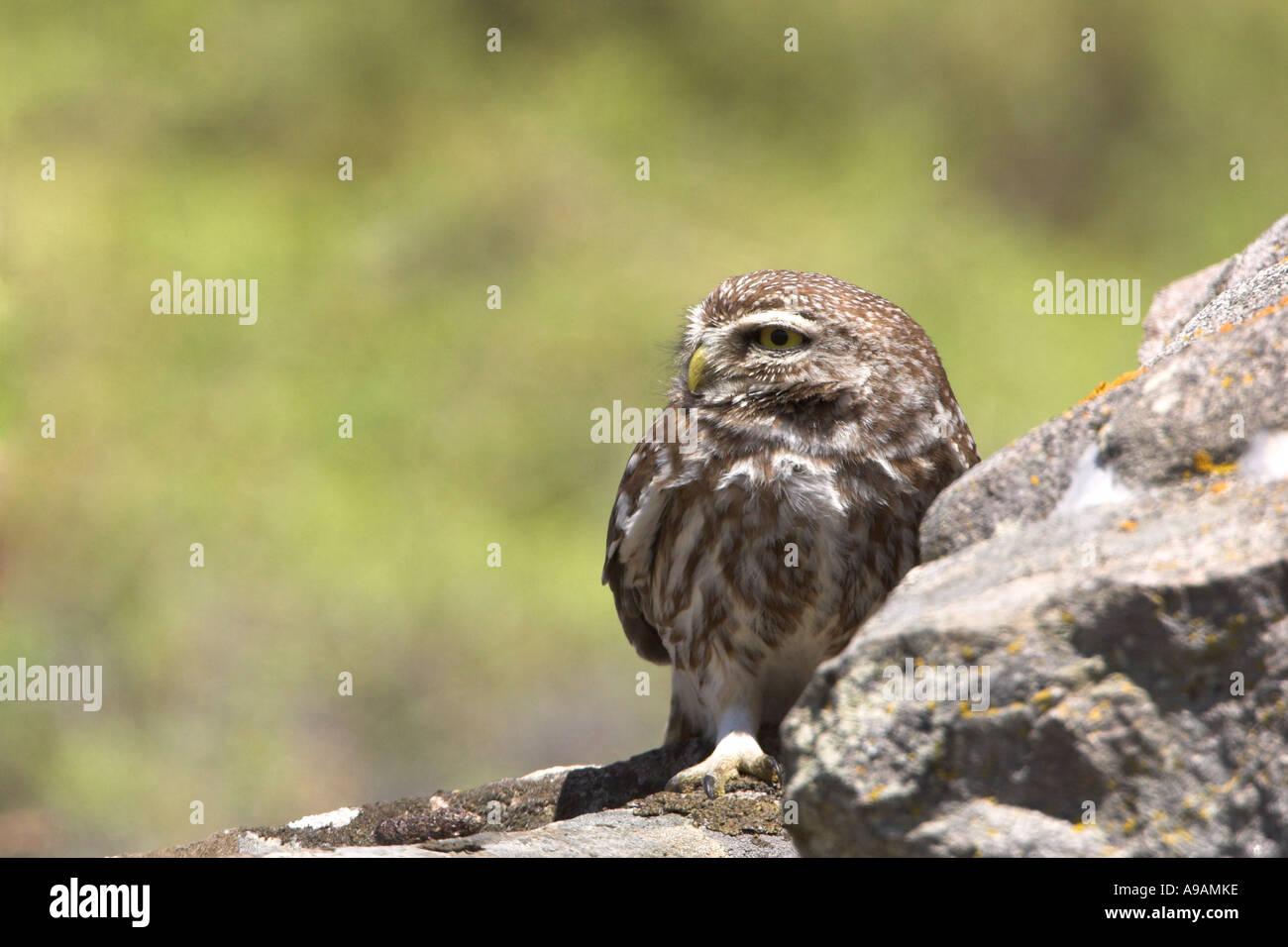 Little Owl, Athene noctua, sunbathing on rock on Greek Island of Lesbos - Stock Image