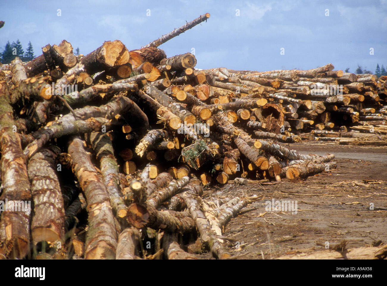 Felled and sawn logs ready for chipping Oregon USA - Stock Image