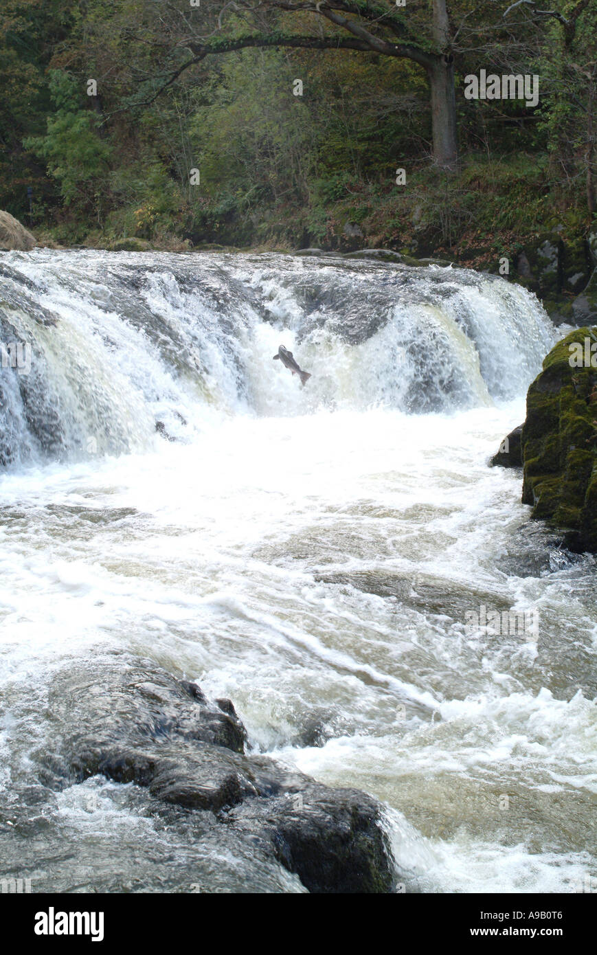 Salmon Leaping Cenarth Falls Carmarthenshire West Wales - Stock Image