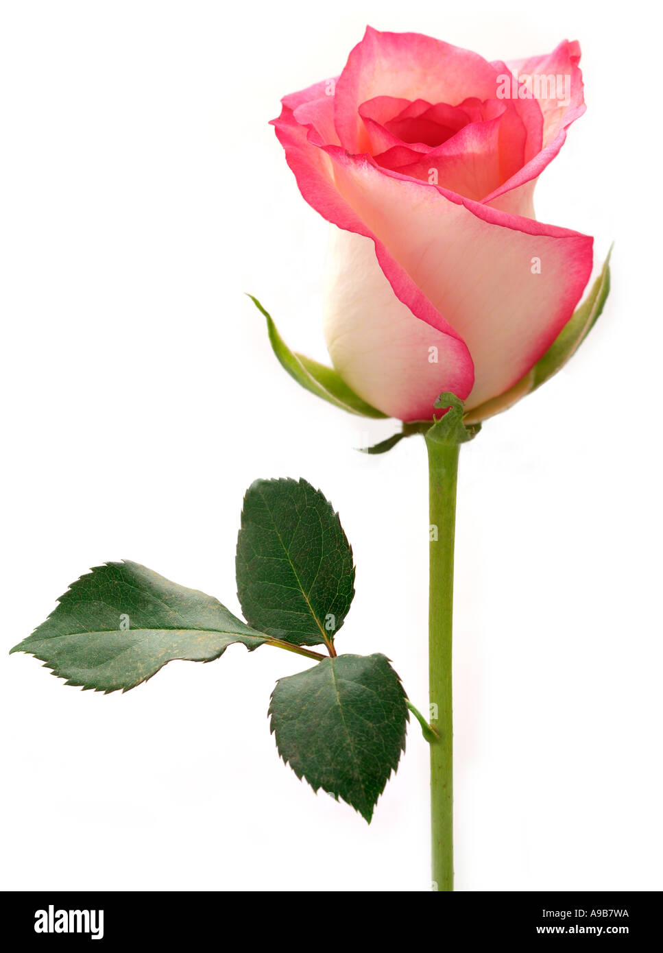 Pink Red White Single Rose Stem Flower Nature Natural Cutout Leaf Stock Photo Alamy