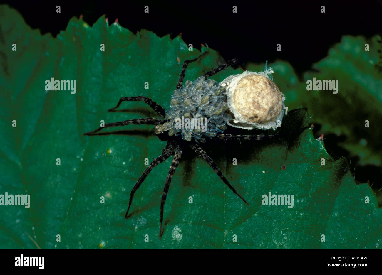 Wolf Spider Pardosa amentata with egg sac and young on back United Kingdom - Stock Image