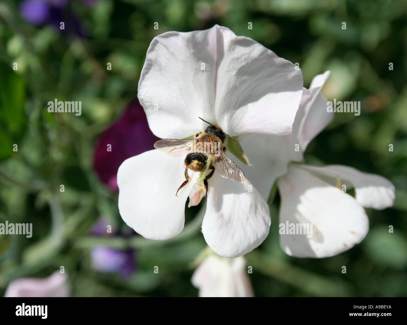 Bee Collecting Pollen From A White Sweet Pea Flower European Stock