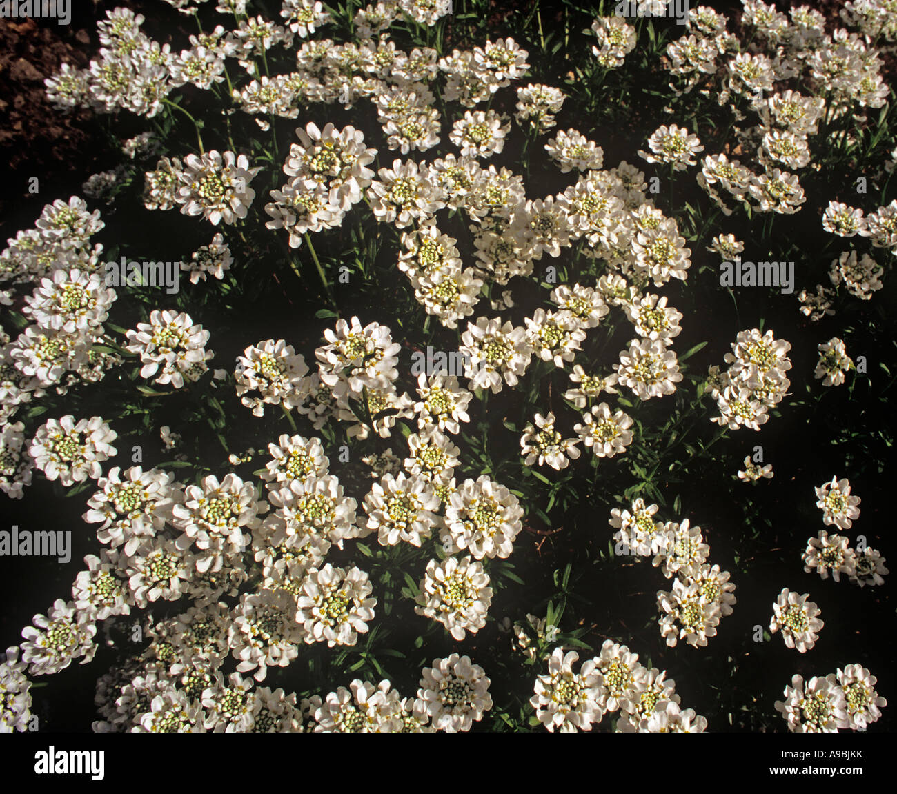 Clusters of small white flowers stock photos clusters of small iberis amara common candytuft fragrant small white flowers in dense clusters bushy annual stock image mightylinksfo
