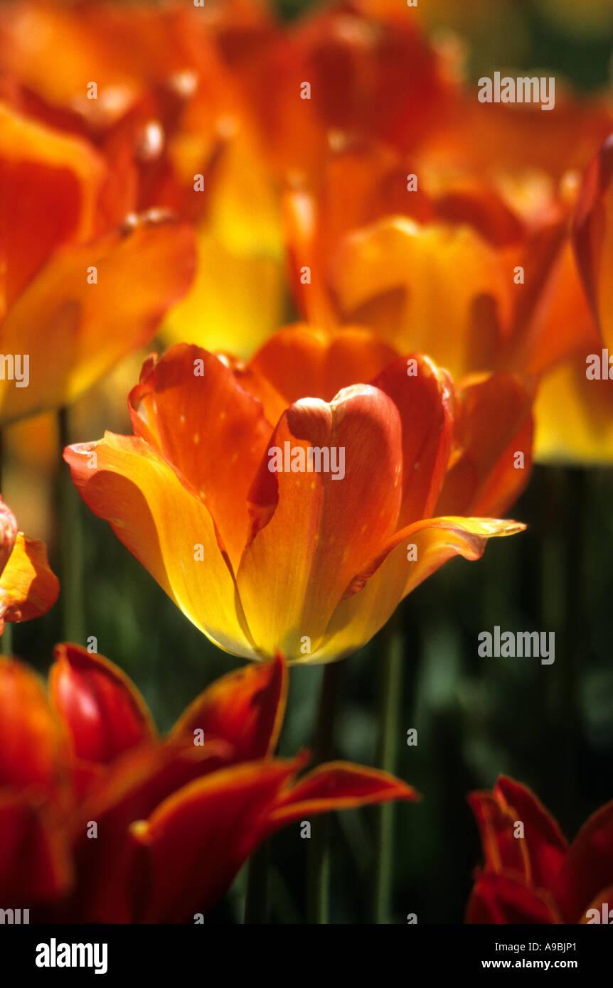 Tulips in full bloom - Stock Image