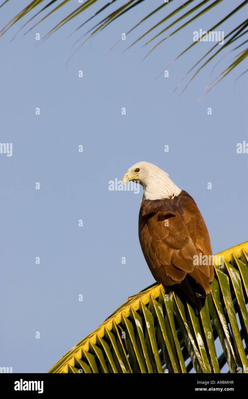 Brahminy Kite (Haliastur indus) on palm frond - Stock Image