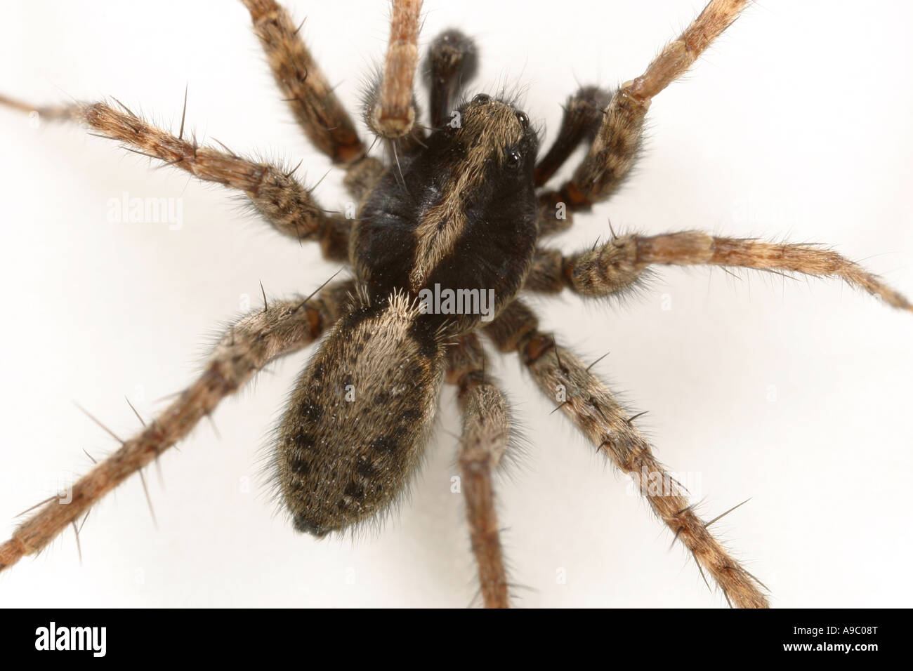 Male Pardosa agricola, a Wolf spider, family Lycosidae, on white background - Stock Image